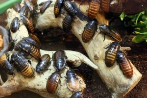 Cockroaches Bugs Insect Pest Roach Pest Control
