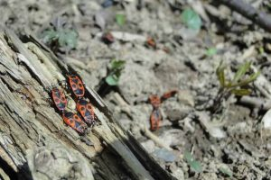 Fire Bug Beetle Insect Nature Pest Control